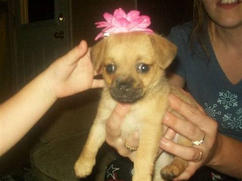 puggle puppies for adoption puggle puppy for sale adoption from glace bay scotia cape breton adpost