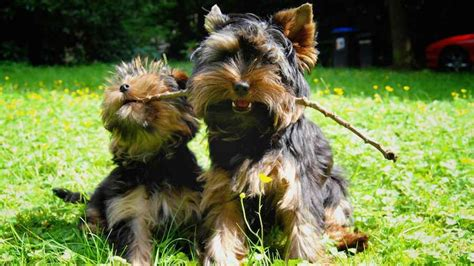 yorkie hypoallergenic dogs hounds working dogs terriers toys non sporting dogs herding dogs breeds picture