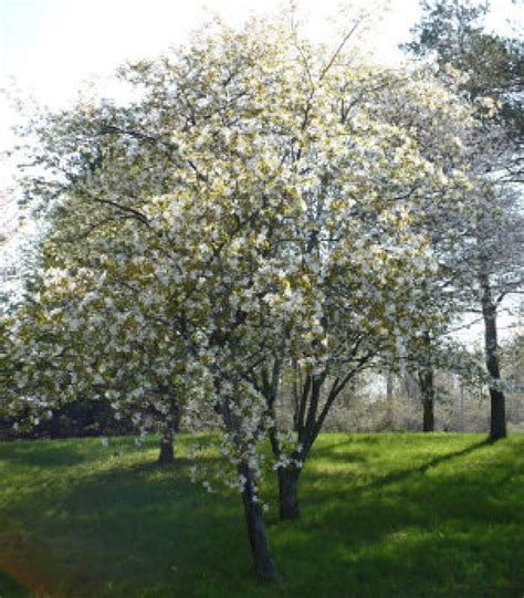 environmentally friendly trees serviceberry an easy environmentally friendly tree that won t become a hassle the