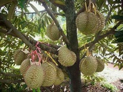 Bibit Buah Naga Jambi this hybrid durian tastes as as musang king can be