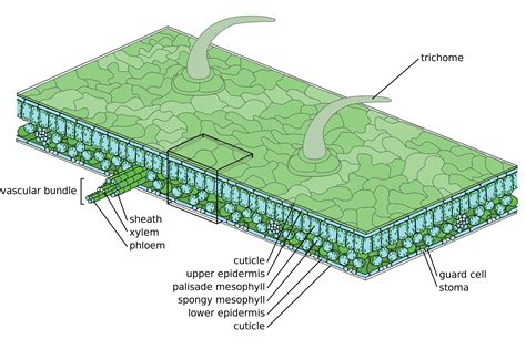 diagram of a leaf plant epidermis epidermis plant