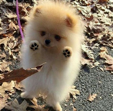 how big are teacup pomeranians best 25 pomeranians ideas on teacup pomeranian puppy pomeranian puppy