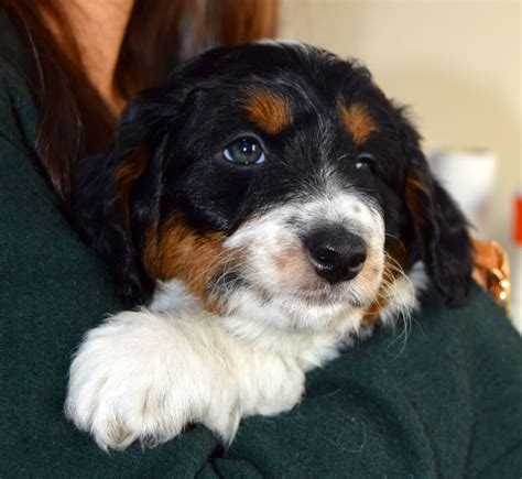border doodle puppies for sale uk collie doodle puppies south west pets4homes