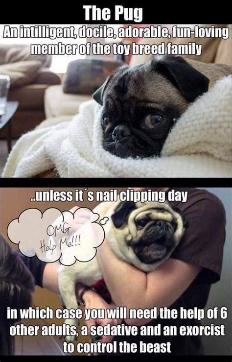 humphrey pug humphrey the pug on meme and pug
