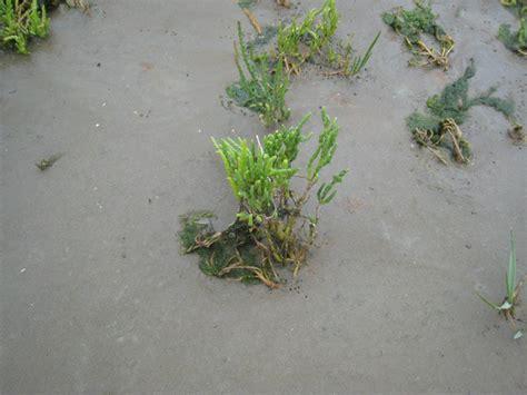 Pflanzen Im Und Am Wasser 4144 gc3vqv5 quot watt quot erleben salzwiesen erlebnispfad