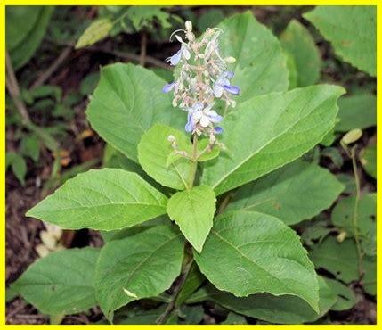Obat Herbal Untuk Orang Sesak Nafas khasiat daun senggugu untuk obat batuk dan sesak nafas ini