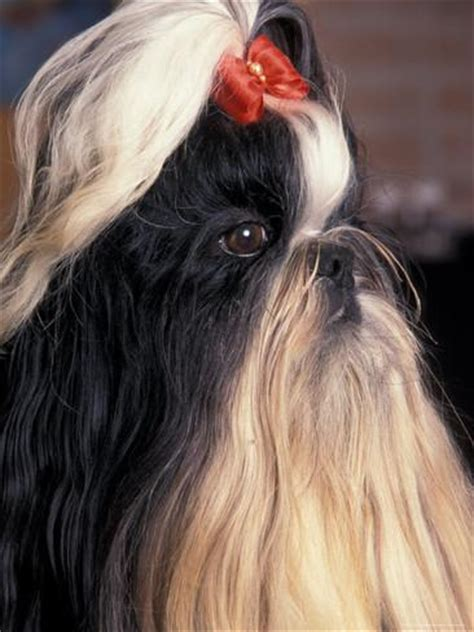 shih tzu profile shih tzu profile with hair up photographic print by adriano bacchella allposters ca