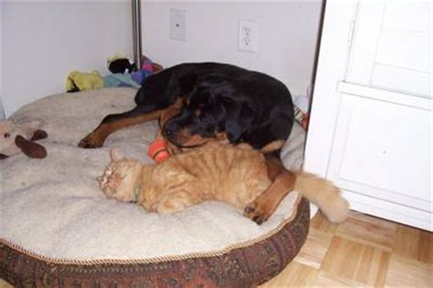 are rottweilers with cats an important difference between big dogs and dogs spacebattles forums