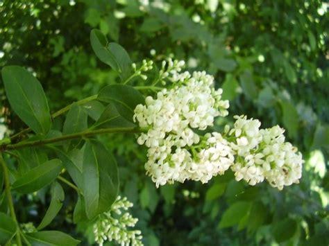 alberi da giardino sempreverdi a crescita rapida siepi a crescita rapida siepi siepi crescita veloce