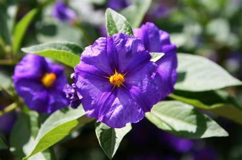 fiori attinomorfi florcirceo piante