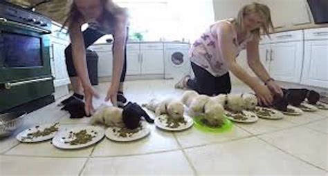 how to wean puppies to solid food 10 weaning labrador puppies enjoy solid food for the time