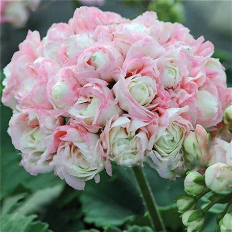 sementi fiori perenni egrow 100 pz giardino di geranio sementi semi di fiori in