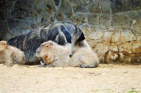capybaras       species earthly mission