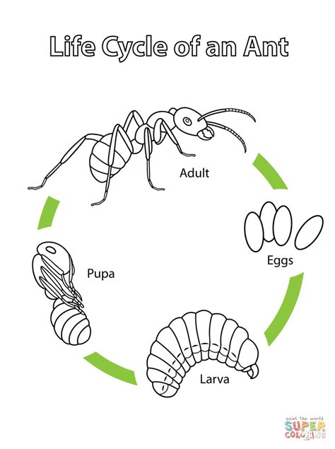 ant life cycle related keywords ant life cycle long tail