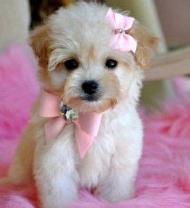 maltipoo puppies for sale in wi 17 best ideas about maltipoo puppies for sale on teacup maltipoo