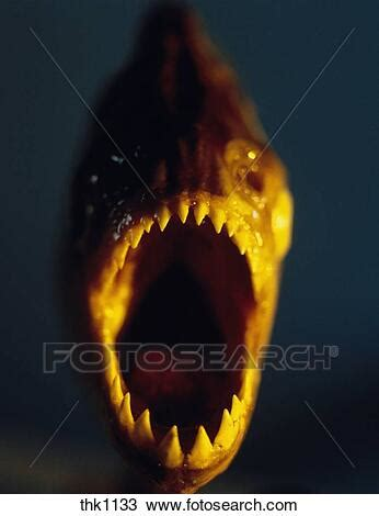 open mouth   piranha  jagged sharp teeth stock image thk fotosearch