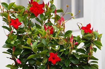 tanaman rambat  merambat   berbunga