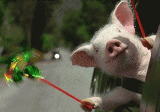 gif format images free download pig gif find share on giphy