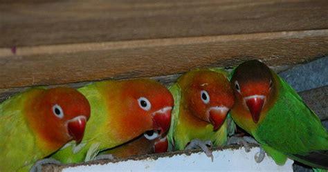 Ternak Cacing Nan perawatan stelan bururng bird untuk lomba info