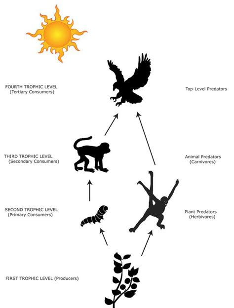 monkey food chain diagram food chain harpy eagles
