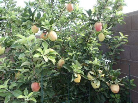 fruit trees las vegas xtremehorticulture of the desert apple variety testing