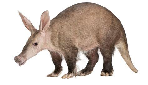 aardvark  anteater small animal planet