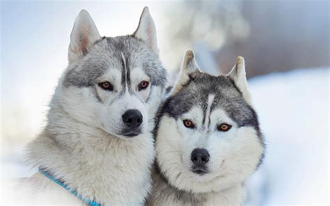 husky coat colors husky rescue sa coat colors of the siberian husky