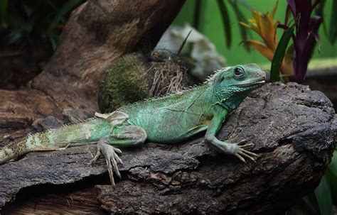 chinese water dragon lighting keeping chinese water dragons with other animals in the