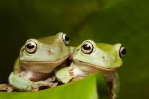 Green tree frog habitat diet amp reproduction sydney