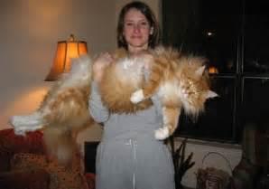 amazon black friday uk 2014 1001archives world s biggest cat ever seen
