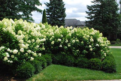 limelight hydrangeas landscaping ideas annabelle