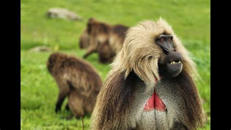 ethiopian monkeys  gelada baboons youtube
