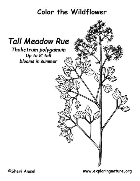 meadow rue coloring page