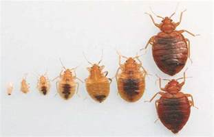 11 bed bugs facts you need to to defeat them pest hacks
