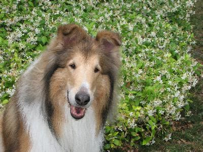 what type of was lassie collie types pets