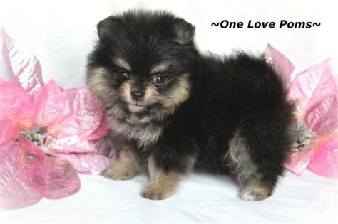 teddy pomeranian for sale in akc teddy pomeranian puppies for sale in graceham maryland classified