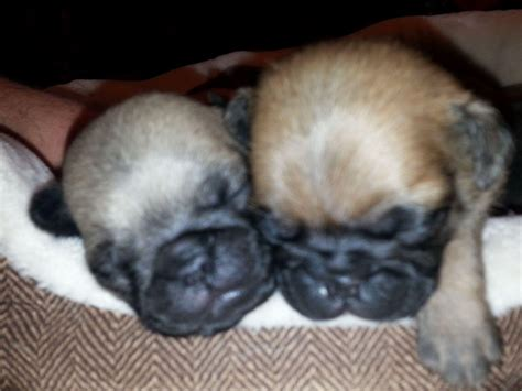 pug breeders in nj pug puppies for sale akc marketplace