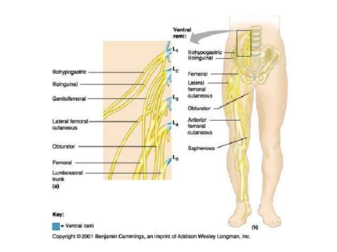 Galerry femoral nerve pain