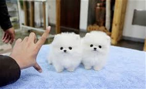 teacup pomeranian personality teacup pomeranian read this before buying a teacup puppy
