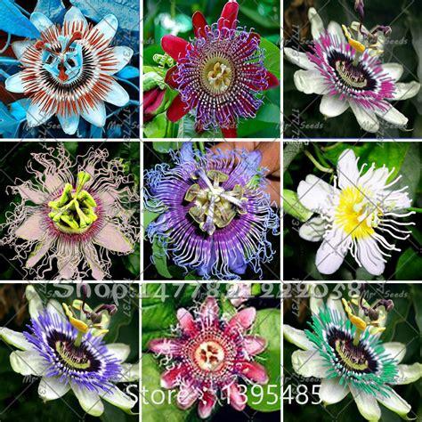passiflora fiore della passione acquista all ingrosso passiflora incarnata semi da