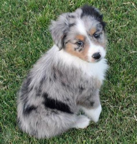 how much are australian shepherd puppies taz the australian shepherd puppies daily puppy