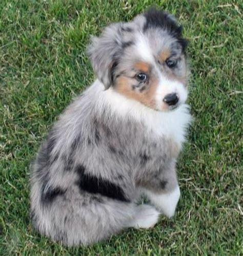 australian shepherd names australian shepherd puppy if he was mine his name would be sergio home