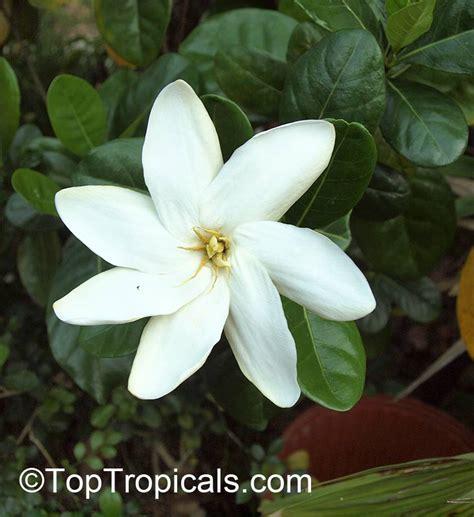 Gardenia Taitensis Gardenia Taitensis Tiare Tahiti Tahiti Gardenia Of
