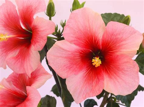 best indoor flowering plants pretty indoor flowering plants today