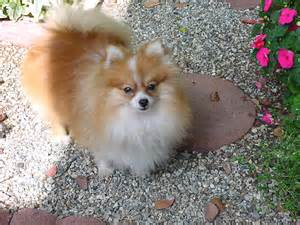 different pomeranian haircuts images of puppies yorkie hair cuts hairstylegalleries