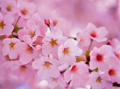 wallpaper bunga sakura terindah gambar bunga sakura
