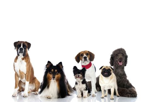 top dog breeds top 10 dog breeds top dog breeds in the u s pictures