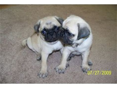 pugs for sale on craigslist pets for sale on craigslist columbia sc