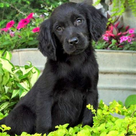setter lab mix dog gordon setter mix puppies for sale greenfield puppies