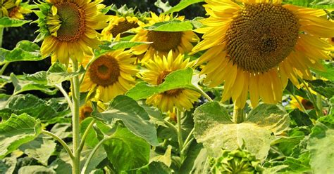 stauden sonnenblume pflege sonnenblumen pflanzen pflege und tipps mein sch 246 ner